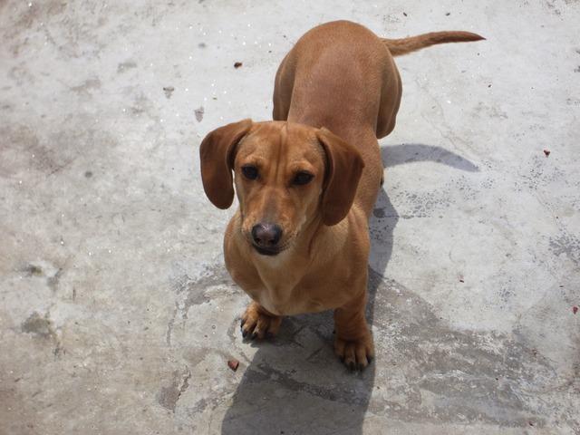 dachshund-1920_640